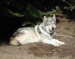graywolf matriarch Nyoka
